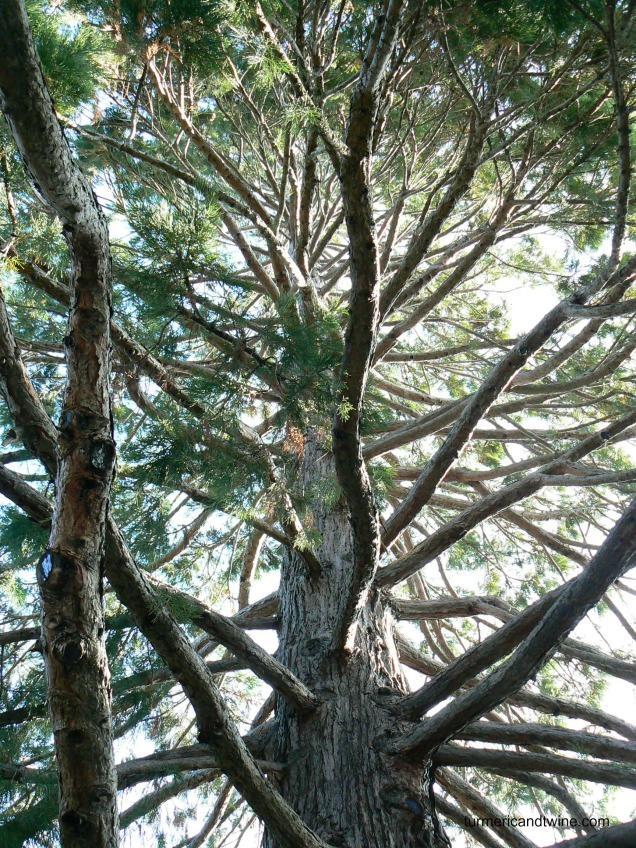 CA tree