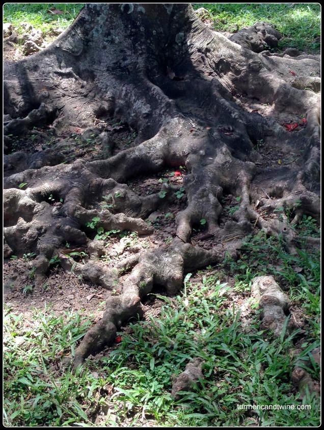 gnarled tree roots Bali