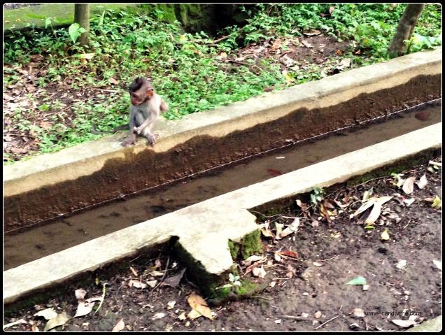 baby monkey by drain