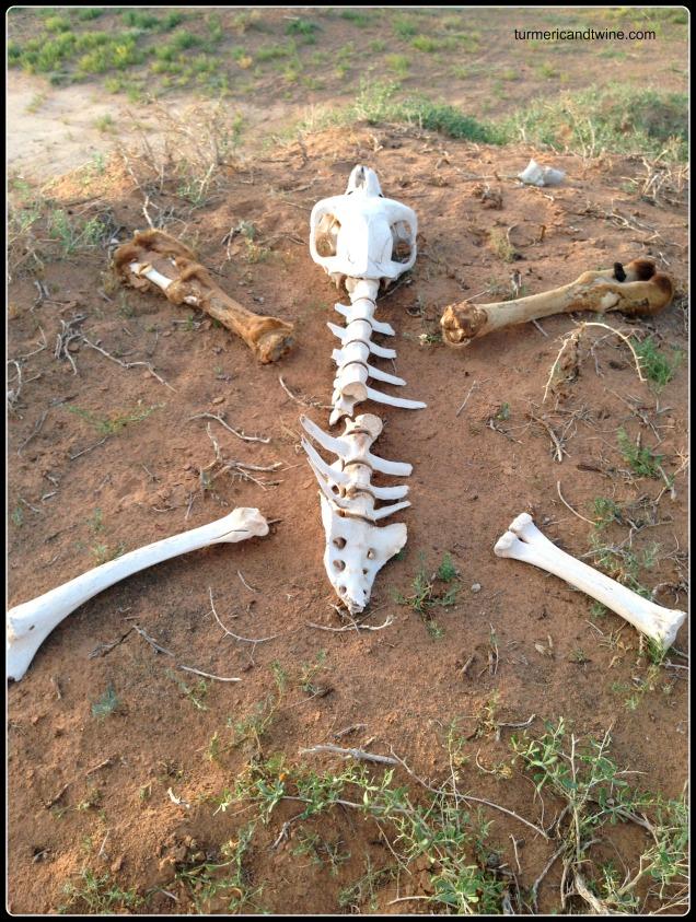 camel bones on the gobi