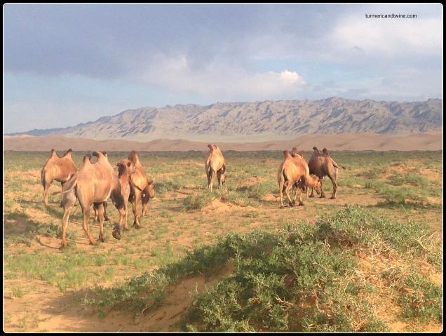 camels in the Gobi Desert, Mongolia
